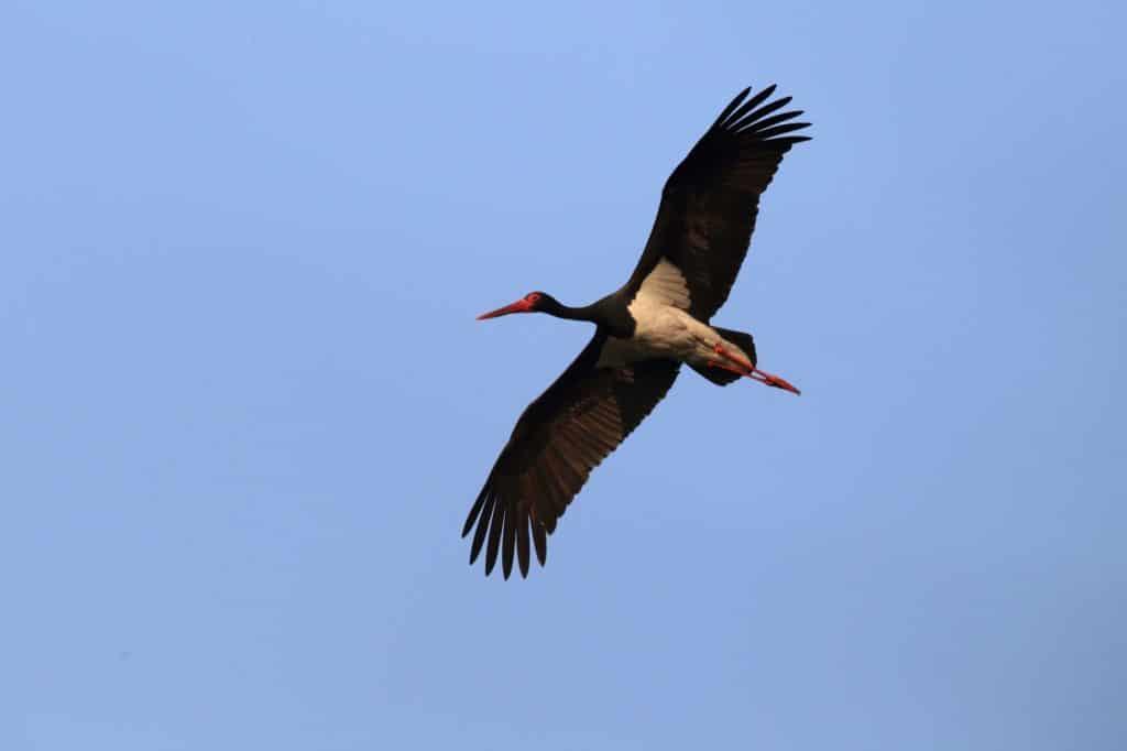 Czarny bocian to wyjątkowy ptak, którego możesz spotkać w Kampinosie, głównie w północnej części bliżej Łomianek i Dziekanowa Leśnego.
